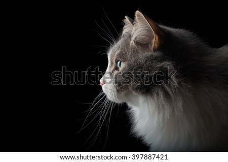 Close-up portrait of white and grey cat on black background looking left - stock photo