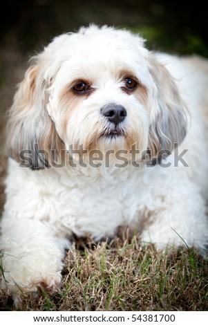 close up portrait of white cavalier shiatsu maltese cross dog - stock photo
