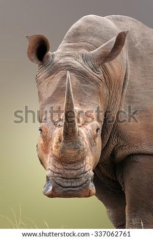 Close-up portrait of White Rhinoceros; Ceratotherium Simum; South Africa - stock photo
