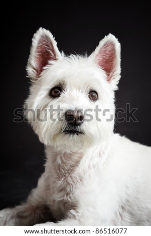 Close-up portrait of white Westhighland westie terrier isolated on black background - stock photo