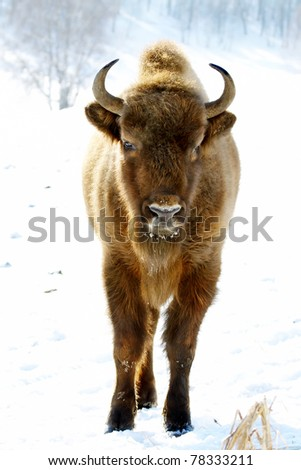close-up portrait of wild bison in winter - stock photo