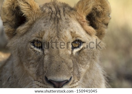 Close up portrait of wild lion