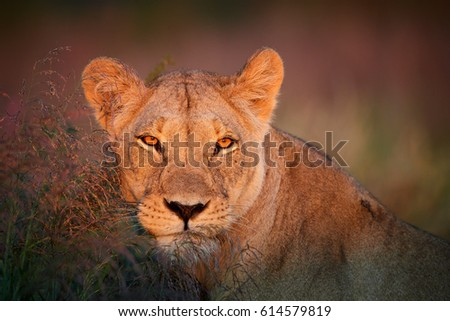 Close up portrait of wild Panthera leo vernayi,  Kalahari lion, lioness in typical environment of Kalahari desert, head with orange eyes lit by first sunrays.  Kgalagadi transfrontier park, Botswana