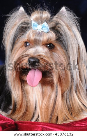 Close up portrait of yorkshire terrier on red velvet