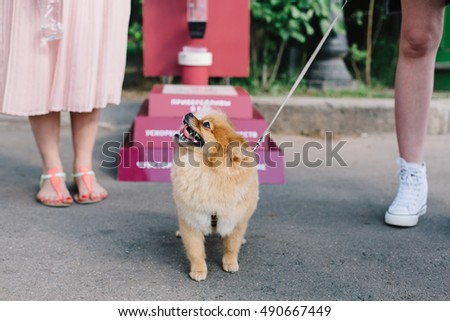 Close up portrait of young funny pomeranian spitz