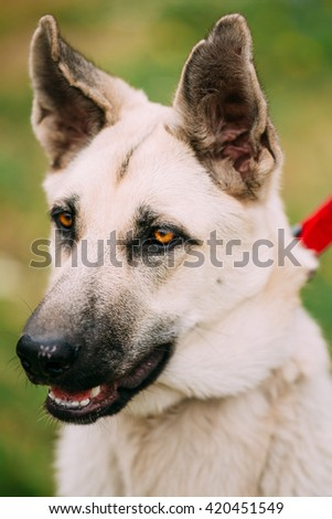 Close Up Portrait Of Young Happy East European Shepherd - Is Breed Of Dog That Was Developed To Create Larger Cold-resistant Breed For Military Use, Police Work And Border Guard Duties In Soviet Union - stock photo