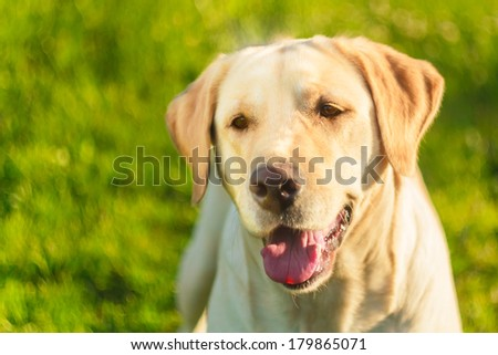 Close Up Portrait Of Young Labrador On Green Grass Background - stock photo