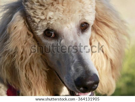 Close up portrait of young peach poodle with selective focus on an eye - stock photo