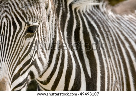 Close-up portrait of zebra eye with her skin pattern on background - Kruger Park, South Africa - stock photo