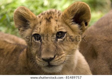 Close up portrait off beautiful little lion - stock photo