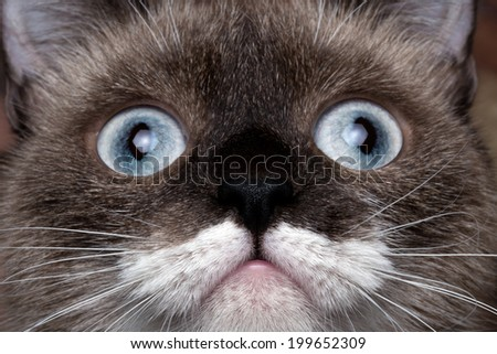 close-up portrait siamese cat with blue eyes and funny mustache - stock photo