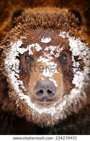 Close-up portrait wild brown bear  - stock photo