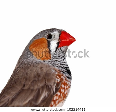 Close-up portrait Zebra Finch, isolated on white background with clipping path, Taeniopygia guttata - stock photo
