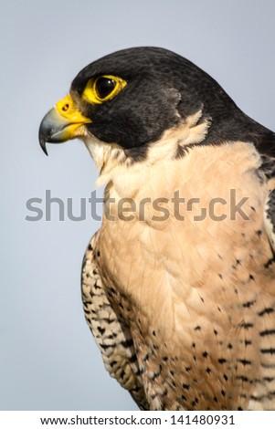 Close up profile of a Peregrine Falcon - stock photo