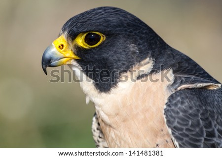 Close up profile of a Peregrine Falcon eyes and beak - stock photo
