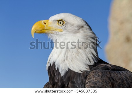 Close up profile of bald eagle on sunny winter morning - stock photo