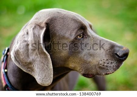Close up profile portrait of Weimaraner dog - stock photo