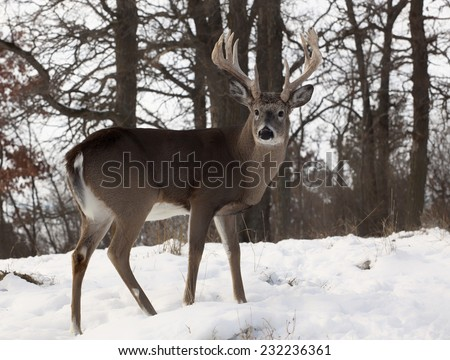 Close up profiled image of a large white-tailed deer buck.  Autumn in Wisconsin. - stock photo