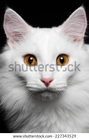 close-up Pure white cat on the black background