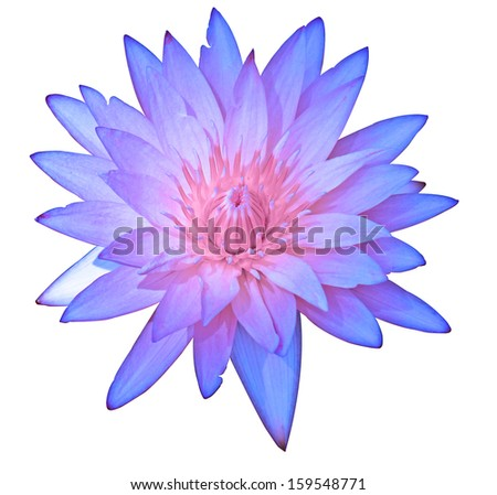 Close up purple color blooming water lily or lotus flower isolated on white - with path - stock photo