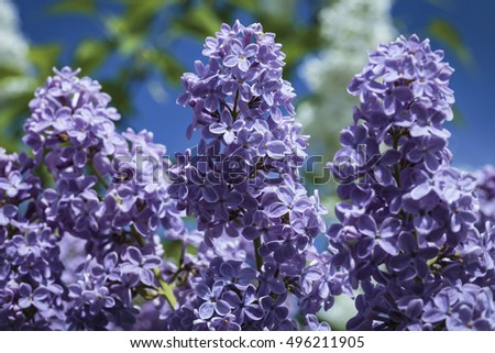 Close-up purple flowers of lilac