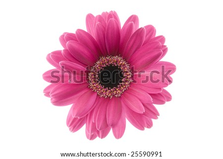 close up purple gerbera
