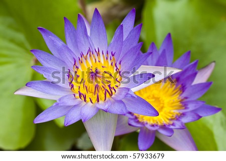 Close up purple water lily - stock photo