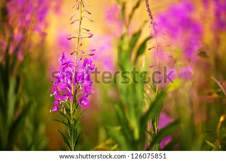 Close-up purple wild flower in sunset time - stock photo