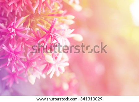 close up red and pink quisqualis indica ,Combretum indicum climb,Chinese honeysuckle, Rangoon Creeper,flower in garden - stock photo