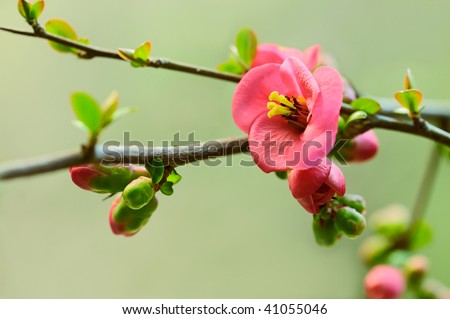 Close-up red japanese cherry blossoms against a soft natural green background - stock photo