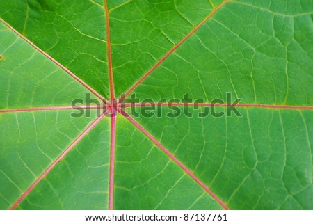 Close up red leaf of palmchrist texture background - stock photo