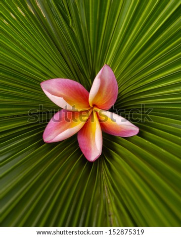 Close up Red plumeria and palm leaf texture - stock photo