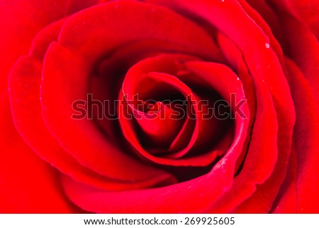 Close up red rose flower - stock photo