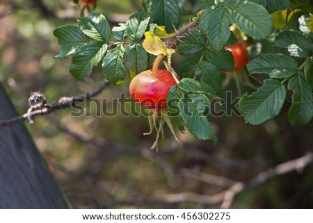 Close up red rose hip on sunny day - stock photo