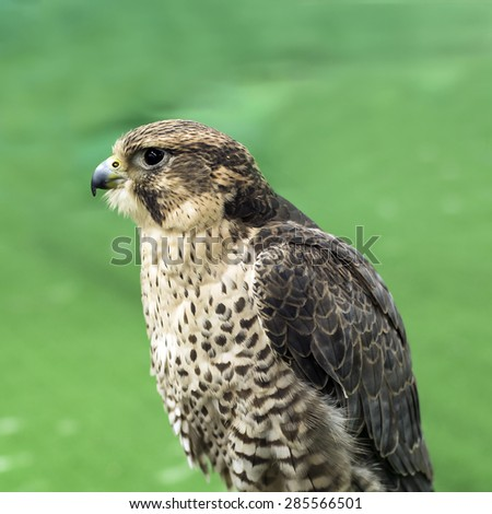 Close up Red-tailed hawk - stock photo