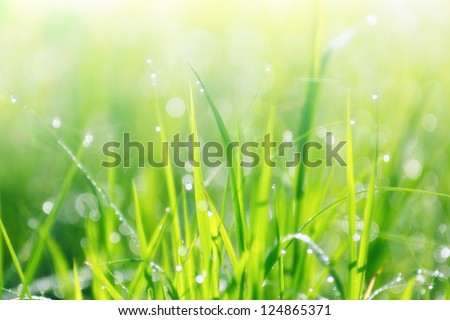 Close up rice fields with water drops in Thailand, background - stock photo