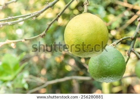 Close up ripe lime in garden. - stock photo