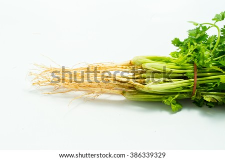 close up root of coriander with rubber band white background - stock photo