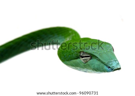 close up Rough Green Snake  Isolated on White