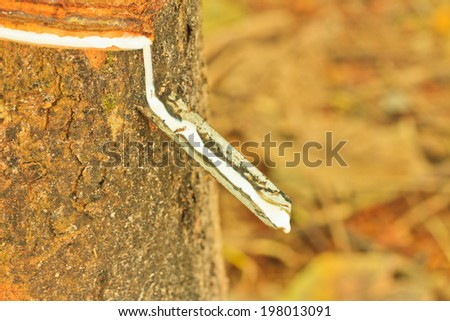Close up rubber tree and Fresh latex - stock photo