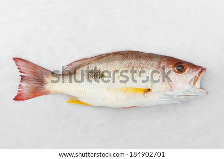 Close up Russell's snapper or Moses perch fish on white wet cloth in market with morning sunlight - stock photo