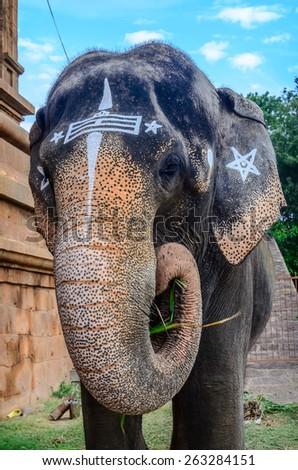 Close-up sacred elephant in Hindu temple Brihadishwara, India, Tamilnadu, Thanjavur - stock photo
