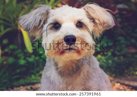 Close up Schnauzer focus on eyes, vintage color effect - stock photo