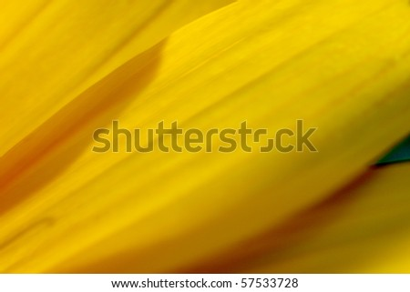 Close up, shallow DoF photo of yellow petals on a wild sunflower