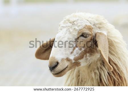 close up sheep face - stock photo