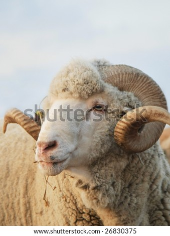 Close-up sheep. Sheep looking at the camera - stock photo