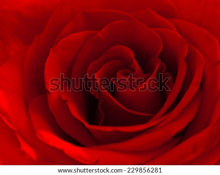 close up shoot of a red rose