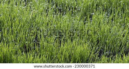 close-up shoots of winter crops covered with dew in the field in a sunny morning - stock photo