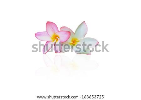 close up shot for  frangipani flowers on white background - stock photo