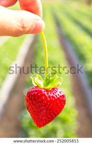 Close up shot Hand pick a branch of strawberry with planting strawberry background - stock photo